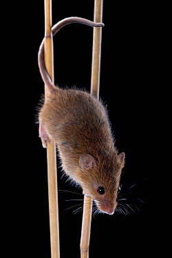 Harvest Mouse (Micromys minutus) climbing in reeds, Germany  -  Ingo Arndt