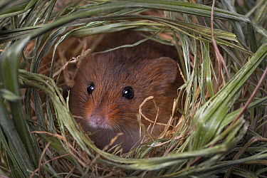 Harvest Mouse (Micromys minutus) female looking out of the nest, Germany  -  Ingo Arndt