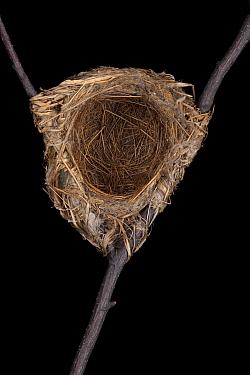 Golden Oriole (Oriolus oriolus) nest, Senckenberg Natural History Collection, Dresden, Germany  -  Ingo Arndt