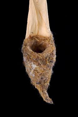 Steely-vented Hummingbird (Amazilia saucerrottei) nest, Senckenberg Natural History Collection, Dresden, Germany  -  Ingo Arndt