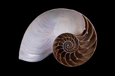 Chambered Nautilus (Nautilus pompilius) cross-section, Meeresmuseum Ozeania, Riedenburg, Germany  -  Ingo Arndt