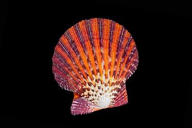 Scallop (Pectinidae), Meeresmuseum Ozeania, Riedenburg, Germany  -  Ingo Arndt