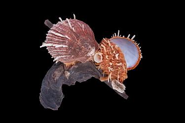 Regal Thorny Oyster (Spondylus regius), Meeresmuseum Ozeania, Riedenburg, Germany  -  Ingo Arndt