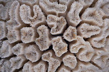 Lesser Valley Coral (Platygyra daedalea) from the Red Sea, Collection Meeresmuseum Ozeania, Riedenburg, Germany  -  Ingo Arndt