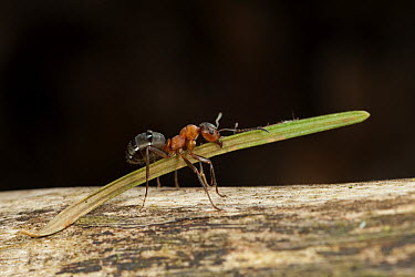 Red Wood Ant (Formica rufa) carrying construction material to anthill  -  Ingo Arndt