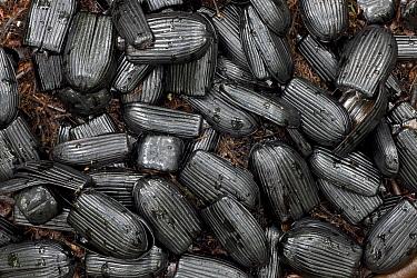 Brown Gardener (Amblyornis inornatus) bower decoration made with beetle wing covers, Indonesia  -  Ingo Arndt