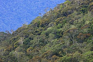 Primary rainforest, Arfak Mountains, Papua New Guinea, Indonesia  -  Ingo Arndt