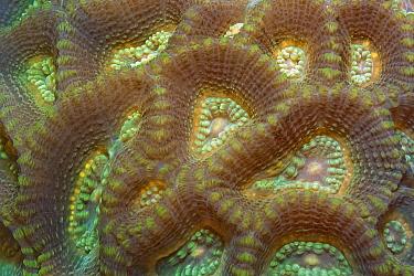 Stony Coral (Favia sp)  -  Ingo Arndt