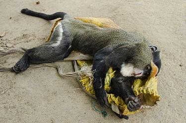 De Brazza's Monkey (Cercopithecus neglectus) female being sold as bushmeat, Brazzaville, Democratic Republic of the Congo  -  Pete Oxford