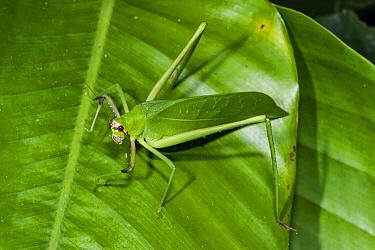 Leaf-mimicking katydid, Odzala-Kokoua National Park, Democratic Republic of the Congo  -  Pete Oxford