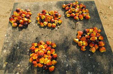 Palm fruits gathered for sale, Mbomo Village, Odzala-Kokoua National Park, Democratic Republic of the Congo  -  Pete Oxford