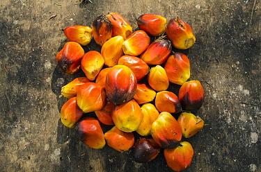 Palm fruit, Mbomo Village, Odzala-Kokoua National Park, Democratic Republic of the Congo  -  Pete Oxford