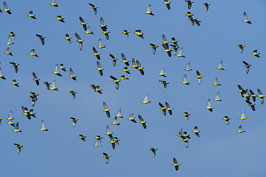 African Green-Pigeon (Treron calvus) flock flying, Lango Bai, Odzala-Kokoua National Park, Democratic Republic of the Congo  -  Pete Oxford