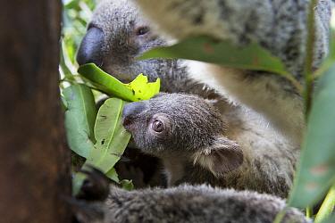 Koala (Phascolarctos cinereus) mother and seven-month-old joey tasting leaves, Queensland, Australia  -  Suzi Eszterhas