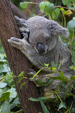 Koala (Phascolarctos cinereus) sleeping, Queensland, Australia  -  Suzi Eszterhas
