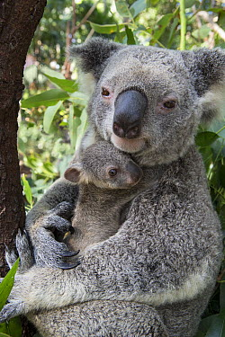 Koala (Phascolarctos cinereus) mother cuddling her seven-month-old joey, Queensland, Australia  -  Suzi Eszterhas