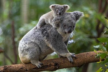 Koala (Phascolarctos cinereus) eight-month-old joey on mother's back, Queensland, Australia  -  Suzi Eszterhas