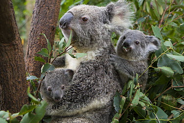 Koala (Phascolarctos cinereus) mother caring for her own joey and babysitting a joey from another female, Queensland, Australia  -  Suzi Eszterhas