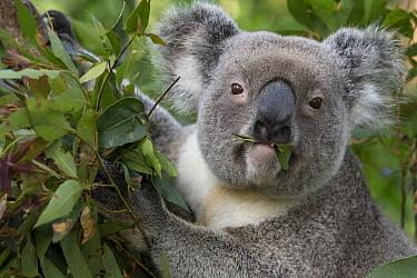 Koala (Phascolarctos cinereus) male feeding, Queensland, Australia  -  Suzi Eszterhas