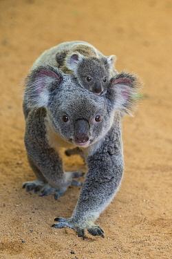 Koala (Phascolarctos cinereus) eight-month-old joey riding on mother's back, Queensland, Australia  -  Suzi Eszterhas