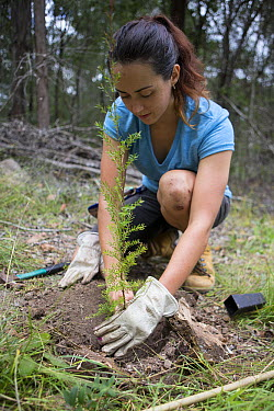 University student Carrie Doyle, planting tree for the Australian Koala Foundation's habitat restoration program, Quinlans Property, Queensland, Australia  -  Suzi Eszterhas