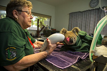 Koala (Phascolarctos cinereus) sick with chlamydia being treated, Koala Hospital, Port Macquarie, Australia  -  Suzi Eszterhas