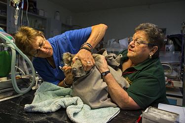 Koala (Phascolarctos cinereus) with chlamydia being treated by hospital supervisor Cheyne Flanagan (left), Koala Hospital, Port Macquarie, Australia  -  Suzi Eszterhas