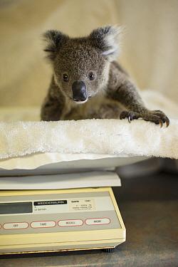 Koala (Phascolarctos cinereus) orphaned joey named Neil being weighed, Koala Hospital, Port Macquarie, Australia  -  Suzi Eszterhas