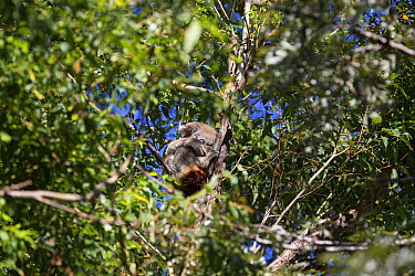 Koala (Phascolarctos cinereus) female with chlamydia in tree, Port Macquarie, Australia  -  Suzi Eszterhas