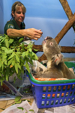 Koala (Phascolarctos cinereus) male sick with knee infection being fed by volunteer April Ferguson, Koala Hospital, Port Macquarie, Australia  -  Suzi Eszterhas