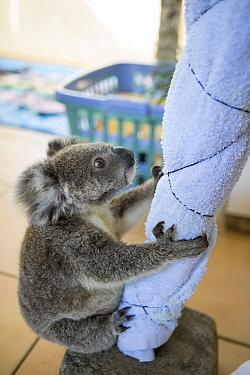 Koala (Phascolarctos cinereus) orphaned joey named Neil on play tree in caregiver's home, Koala Hospital, Port Macquarie, Australia  -  Suzi Eszterhas