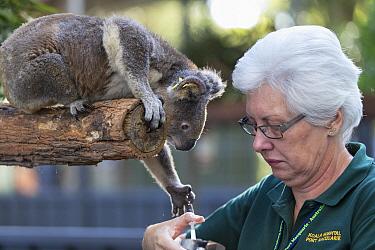 Koala (Phascolarctos cinereus) female named Sue sick with chlamydia being fed by volunteer Gabriella Rivett, Koala Hospital, Port Macquarie, Australia  -  Suzi Eszterhas