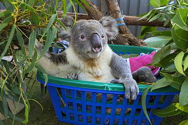 Koala (Phascolarctos cinereus) male named Buster sick with knee infection, Koala Hospital, Port Macquarie, Australia  -  Suzi Eszterhas