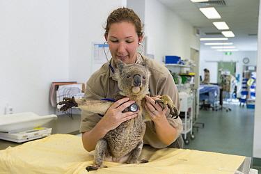 Koala (Phascolarctos cinereus) koala with KoRV retrovirus being examined by hospital manager Patricia Swift, Currumbin Wildlife Hospital, Queensland, Australia  -  Suzi Eszterhas