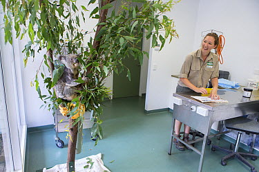 Koala (Phascolarctos cinereus) sick with KoRV retrovirus climbing an artificial tree near hospital manager Patricia Swift, Currumbin Wildlife Hospital, Queensland, Australia  -  Suzi Eszterhas