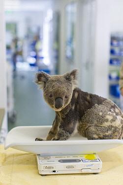 Koala (Phascolarctos cinereus) male with KoRv retrovirus being weighed, Currumbin Wildlife Hospital, Queensland, Australia  -  Suzi Eszterhas