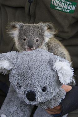 Koala (Phascolarctos cinereus) eight-month-old joey clinging to stuffed animal during veterinary procedure, Currumbin Wildlife Sanctuary, Queensland, Australia  -  Suzi Eszterhas