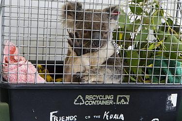 Koala (Phascolarctos cinereus) male sick with chlamydia, Currumbin Wildlife Hospital, Queensland, Australia  -  Suzi Eszterhas