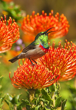 Southern Double-collared Sunbird (Cinnyris chalybeus) male on Pincushion (Leucospermum sp) protea flower, Kirstenbosch Garden, Cape Town, South Africa  -  Kevin Schafer