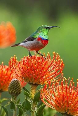 Southern Double-collared Sunbird (Cinnyris chalybeus) male at Pincushion (Leucospermum sp) protea flower, Kirstenbosch Garden, Cape Town, South Africa  -  Kevin Schafer
