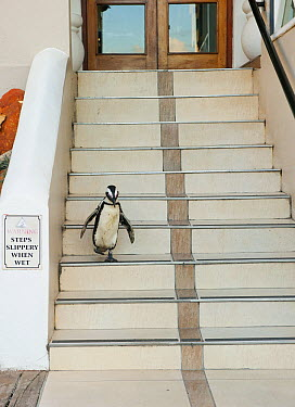 Black-footed Penguin (Spheniscus demersus) descending stairs, Boulders Beach, Cape Peninsula, South Africa  -  Kevin Schafer