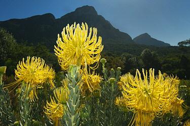 Rocket Pincushion (Leucospermum reflexum), Kirstenbosch Gardens, Table Mountain, Cape Town, South Africa  -  Kevin Schafer