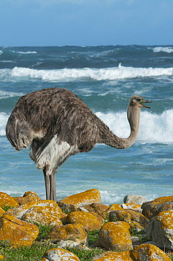 Ostrich (Struthio camelus) female near shore, Cape of Good Hope, Cape Peninsula, South Africa  -  Kevin Schafer