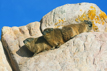 Rock Hyrax (Procavia capensis) group on boulder, Cape of Good Hope, Cape Peninsula, South Africa  -  Kevin Schafer