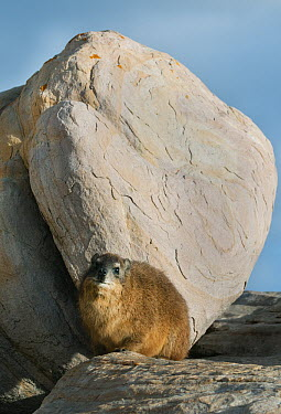 Rock Hyrax (Procavia capensis), Cape of Good Hope, Cape Peninsula, South Africa  -  Kevin Schafer