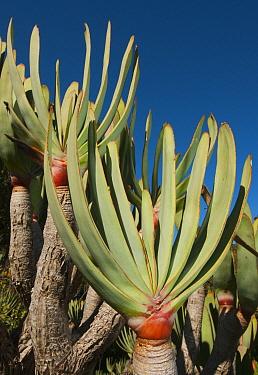 Fan Aloe (Aloe plicatilis) in fynbos habitat, Western Cape, South Africa  -  Kevin Schafer