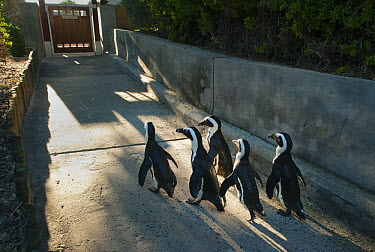 Black-footed Penguin (Spheniscus demersus) group walking up concrete path, Boulders Beach, Cape Peninsula, South Africa  -  Kevin Schafer