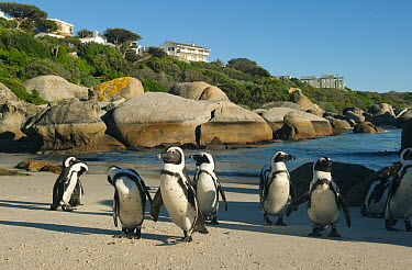 Black-footed Penguin (Spheniscus demersus) group near beachside neighborhood, Boulders Beach, Cape Peninsula, South Africa  -  Kevin Schafer