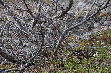 Rock Ptarmigan (Lagopus muta) female on nest, Alaska  -  Michael Quinton