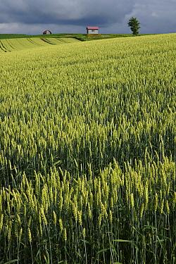 Common Wheat (Triticum aestivum), Hokkaido, Japan  -  Hiroya Minakuchi